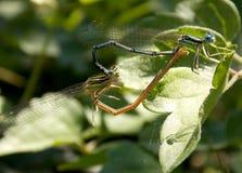Zwei Libellen Stockfoto