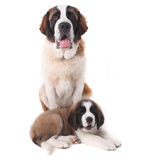 Zwei liebende Bernhardiner-Welpen Stockbild