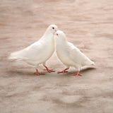 Zwei liebende weiße Tauben Lizenzfreies Stockbild