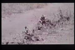 Zwei liebevolle Eichhörnchen, die in der Wildnis spielen stock footage
