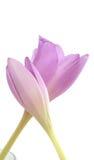 Zwei lila Blumen Lizenzfreie Stockfotos