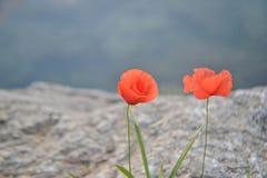Zwei lokalisierten rote Mohnblumen Lizenzfreies Stockbild