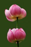 Zwei Lotos-Blumen Lizenzfreies Stockbild