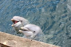 Zwei lustige Delphine Maaike und dünnes in Dolfinarium Harderwijk Stockbilder