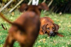 Zwei lustige freundliche Hunde Rhodesian Ridgeback, die, Betrieb, jagend spielen stockbilder