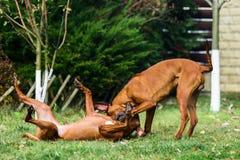 Zwei lustige freundliche Hunde Rhodesian Ridgeback, die, Betrieb, jagend spielen lizenzfreie stockfotos