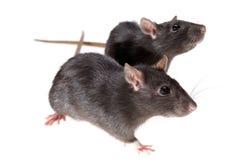 Zwei lustige Ratten Stockfotos