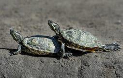 Zwei lustige Schildkröten klettern sich reptilien Zootiere stockfotografie