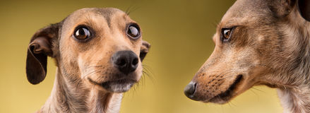 Zwei lustiges Hundeporträt Stockbilder