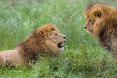 Zwei männliche Bruder Afrikanerlöwen Lizenzfreie Stockbilder