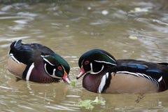 Zwei männliche hölzerne Enten Stockfoto