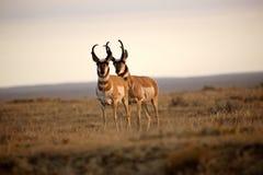 Zwei männliche Pronghorn Antilopen Stockbilder