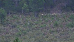 Zwei männliche Rotwild mit dem enormen Geweih gehend in den Busch stock video