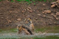 Zwei männliche Tigerjunge sind, kämpfend spielend und mit einander an einem regnerischen Tag in der Monsunzeit an Nationalpark Ra lizenzfreies stockbild