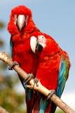 Zwei Macawpapageien, die zusammen auf einem Zweig sitzen Lizenzfreie Stockfotografie