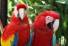 Zwei Macaws Lizenzfreie Stockbilder