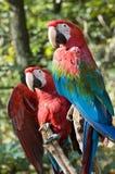Zwei Macaws Lizenzfreie Stockfotografie