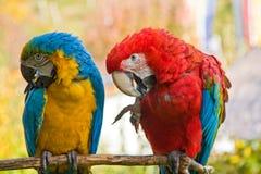 Zwei Macaws Stockfotos
