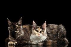 Zwei Maine Coon Cats Lying, in camera schauend, schwarz lizenzfreie stockfotos
