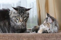 Zwei Maine Coon-Katzen auf ihrer Ofenbank, Kätzchen und erwachsene Katze lizenzfreie stockfotos