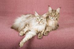 Zwei Maine Coon-Katzen, die sich auf malvenfarbenem Hintergrund hinlegen Stockbild