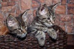 Zwei Maine-Waschbärkätzchen sitzen in einem Weidenkorb Heimtiere lizenzfreie stockfotos