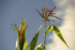Zwei Maisblumen und -bl?tter lizenzfreies stockbild
