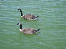 Zwei majestätische kanadische schwimmende Gänse lizenzfreie stockbilder