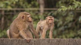 Zwei Makaken auf Dach Lizenzfreies Stockfoto