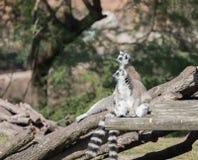 Zwei Makis, die in der Sonne im Zoo sich entspannen lizenzfreie stockfotografie