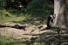 Zwei Makis, die nahe dem großen Baum in der merkwürdigen Position sitzen lizenzfreie stockfotografie