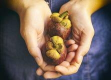 Zwei Mangostanfrüchte in den Frauenhänden Lizenzfreies Stockbild
