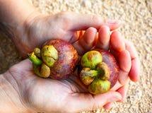 Zwei Mangostanfrüchte in den Frauenhänden Stockbild