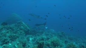 Zwei Mantarochen auf einem Korallenriff Lizenzfreies Stockfoto