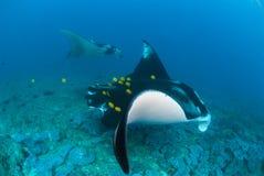 Zwei Mantarochen, die längsseits schwimmen Lizenzfreie Stockbilder