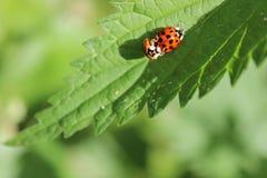 Zwei Marienkäfer auf Nesselblättern Stockbild