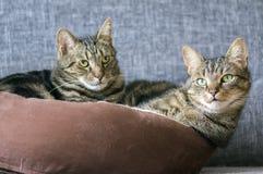 Zwei Marmorkatzen, die in einem braunen Katzenbett, Blickkontakt sich entspannen Lizenzfreies Stockfoto