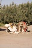 Zwei marokkanische Kamele Lizenzfreies Stockfoto