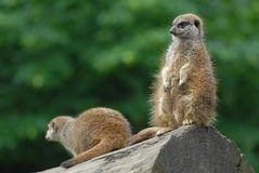 Zwei meerkats Lizenzfreie Stockfotografie