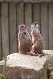 Zwei meerkats auf Abdeckung Lizenzfreie Stockfotografie