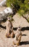 Zwei meerkats, die auf Schutz stehen Lizenzfreie Stockbilder