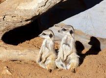 Zwei meerkats, die in der gleichen Richtung schauen Stockfoto