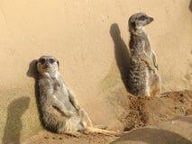 Zwei meerkats, die in der Sonne vor einer Wand lazing sind Stockbild