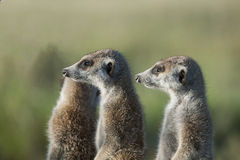 Zwei Meerkats im Profil Lizenzfreie Stockfotos