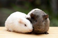 Zwei Meerschweinchen Stockfotos