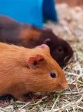 Zwei Meerschweinchen in einem Geschäft für Haustiere lizenzfreie stockbilder