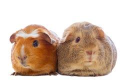 Zwei Meerschweinchen lokalisiert Stockbild