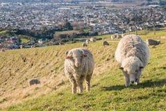 Zwei Merinoschafe, die auf Wither-Hügeln über Blenheim, Neuseeland weiden lassen Stockfotos
