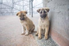 Zwei Mischzuchtwelpen, die in der Vorderansicht sitzen Zwei kleine Hunde, die auf Balkonboden sitzen stockfotos