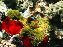 Zwei-mit einem Band versehene clownfishes und Seeanemonen Lizenzfreies Stockfoto